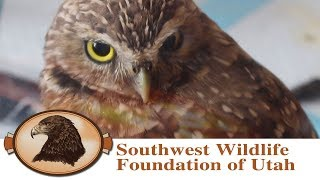 Burrowing Owl | Rescued, Rehabilitated and Released!