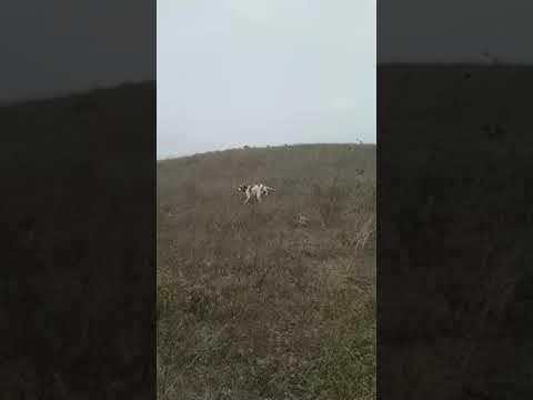 Bıldırıcın Av Videoları 5