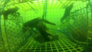 Lobsters Filmed In A Trap At The Flying Place Cove.