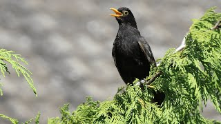 Relaxing with a common blackbird song in wild