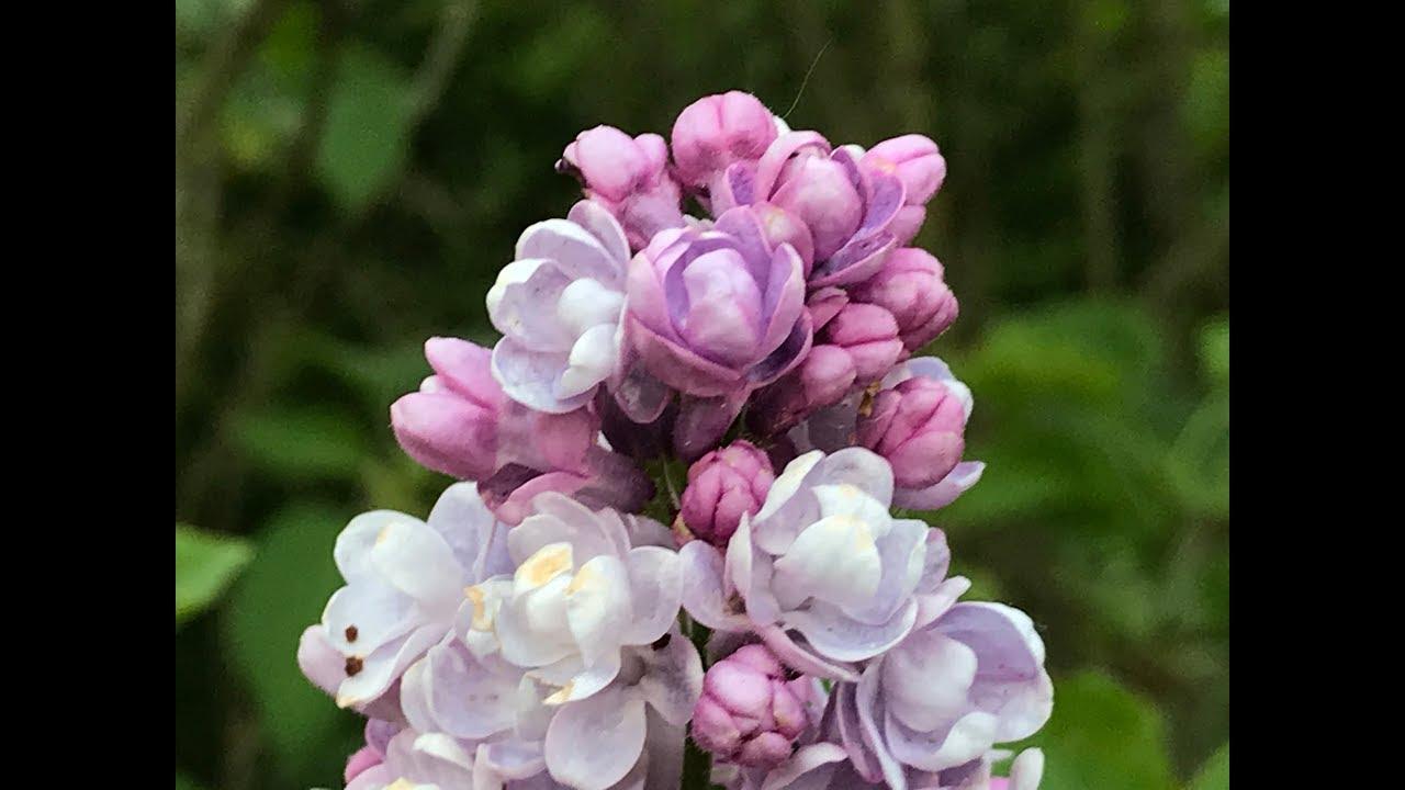 Lilas commun Syringa vulgaris 'Katherine Havemeyer' Les grappes la belle paire.