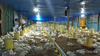 Kandang Ayam Broiler Semi Close House Umur 26 Hari Blower Rakitan