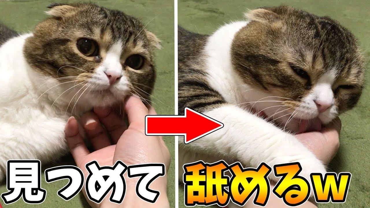 【猫】帰宅したママに超甘える猫【スコティッシュフォールド】