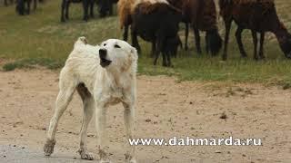 Гиссарские овцы и саги дахмарда чабанов из района Рудаки, которые идут Ромитское ущелье