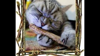 Мататаби для кошек.Как легко приучить кота к когтеточке/Matatabi for cats