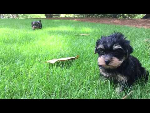 Cooper the Yorkshire Terrier loves to sit in the grass and look around