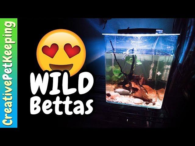 Unboxing my first WILD BETTA FISH!! Betta Mahachai