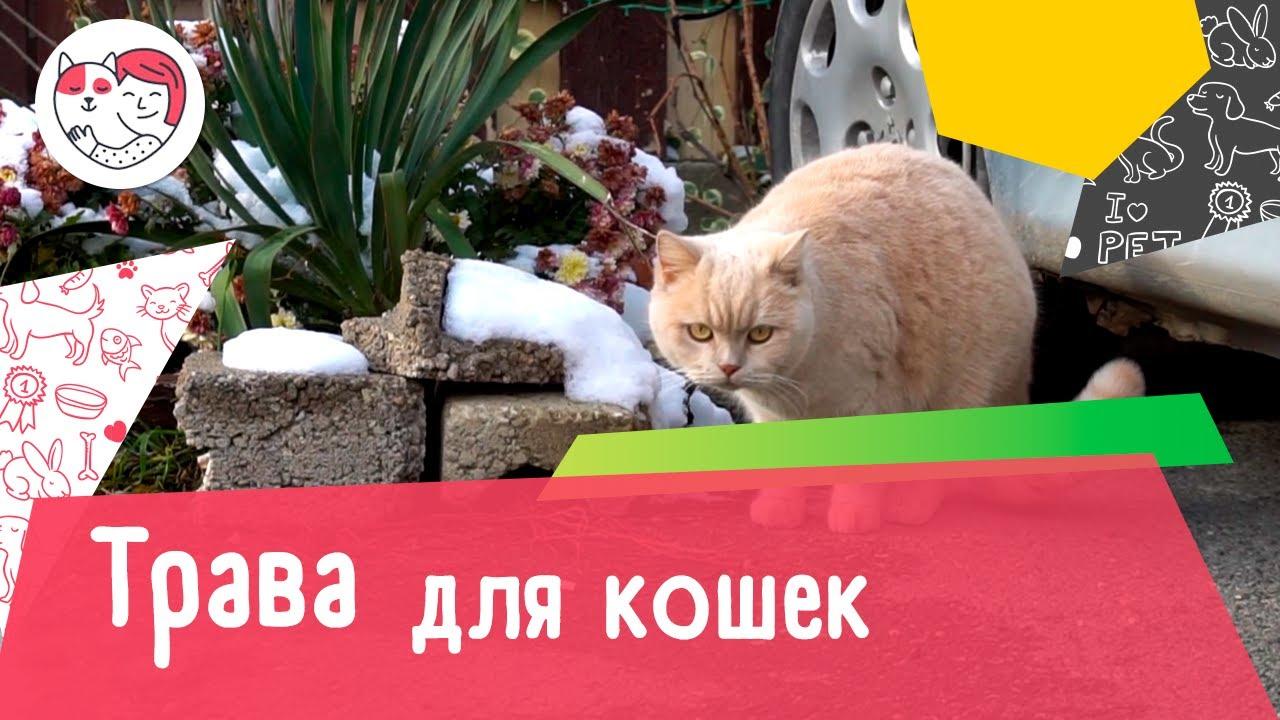 4 популярных вопроса про траву для кошек