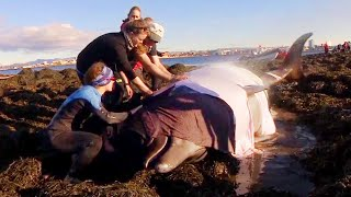 Whale Watchers Team Up to Help Whales Stranded on Iceland Beach