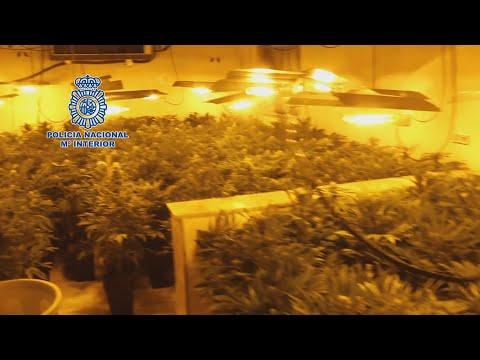 Detenidos con 2.488 plantas de marihuana en Almería