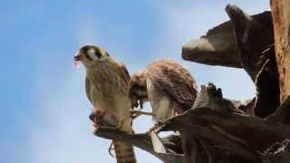 American Kestrel Parent and Baby
