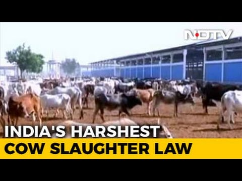 Life Term For Cow Slaughter In Gujarat, Assembly Clears Tougher Law
