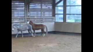 preview picture of video 'double-poney lâché dans le manège (stage d'hiver 2e semaine)'