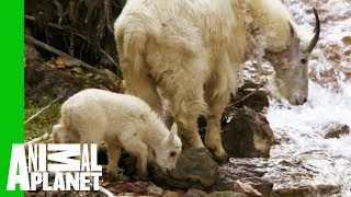 Baby Mountain Goat Learns To Follow In His Mother