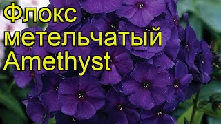 Флокс метельчатый (Amethyst). Краткий обзор, описание характеристик, где купить рассада