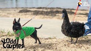 Duck Follows His Dog Best Friend Everywhere   The Dodo Odd Couples