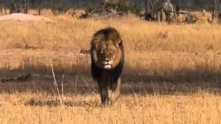 Após matar leão, dentista norte-americano é alvo de críticas na internet