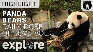 Daily Dose of Cute Panda Love Volume 3 - Live Cam Highlights