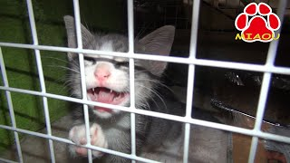 Kitten Tora to escape from the cage