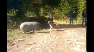 Бультерьер и свинья. Bull terrier and a pig