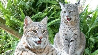 A Bobcat Love Story - The Purrfect Match?