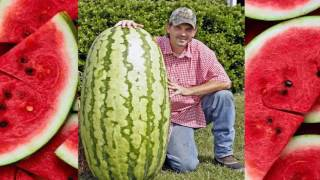 huge watermelons in the world