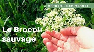 Cueillir le brocoli sauvage