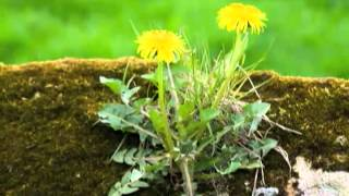Dandelions - How To Keep Them Under Control Naturally!
