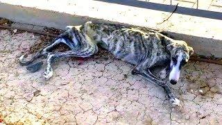 Тощая собака плакала от страха и отчаяния, стоило людям только приблизиться к ней...