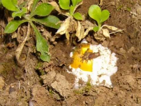 Trattare lunghia coltivata in SPb