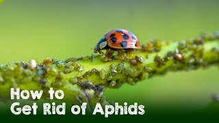 How to Naturally Get Rid of Aphids, White Flies, and Spider Mites