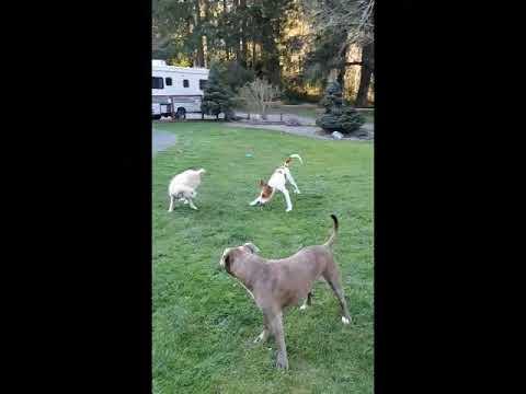 Greta, an adoptable Foxhound Mix in Silverdale, WA_image-1