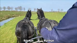 Kind Of STABLE TOUR While Driving The Friesian Horses Sjirkje And Pjirkje.
