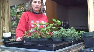 Harvesting Herbs Indoors  For Cooking Use