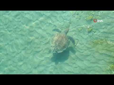 Antalya'da  204 bin 591 yavru caretta denizle buluşturuldu