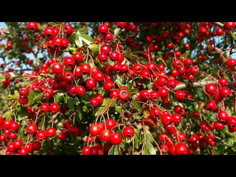 Video Hawthorn Berry for a Healthy Heart - The Wise Alternative