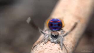 Танцующий павлин- паук (dansçı örümcek)Лезгинка- танец воинов.