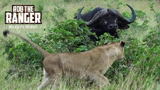 Incredible Scene | Lionesses Take On An African Buffalo Herd!!! (Introduced By Sheldon Zam)