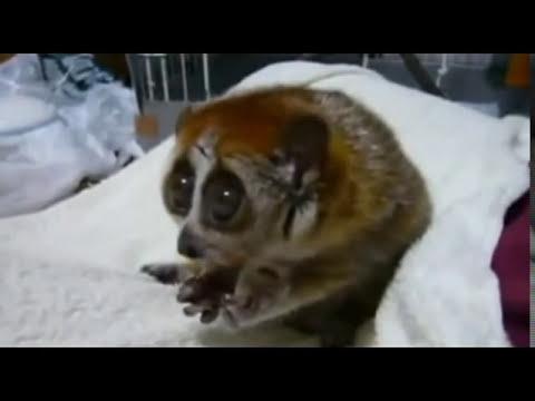 Video di sesso scimmia con un cane