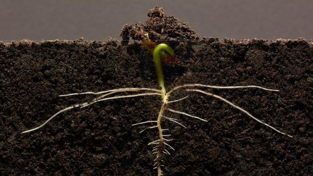 Таймлапс - 25 дней из жизни фасоли