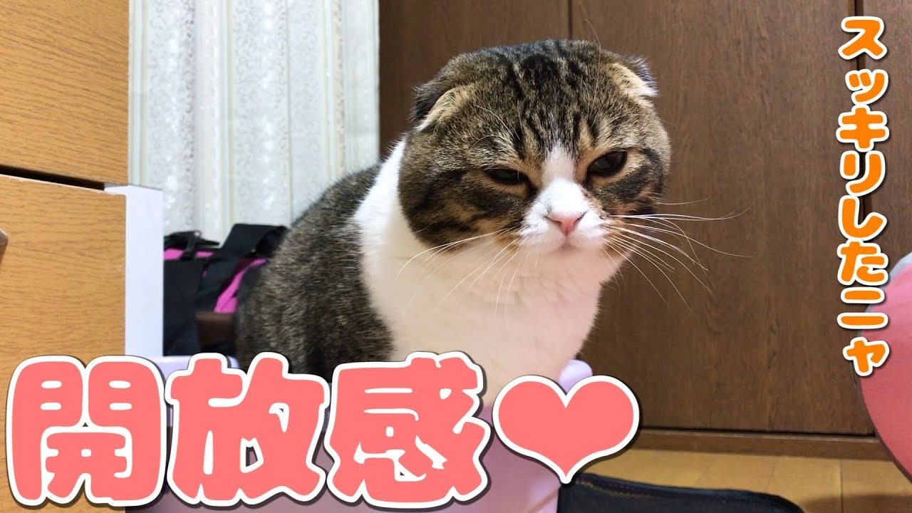 おトイレで開放感を味わった猫【スコティッシュフォールド】【Scottish Fold】