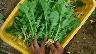 「今日もあなたと百姓一揆!」~旬の有機野菜収穫編@秋の葉大根収穫