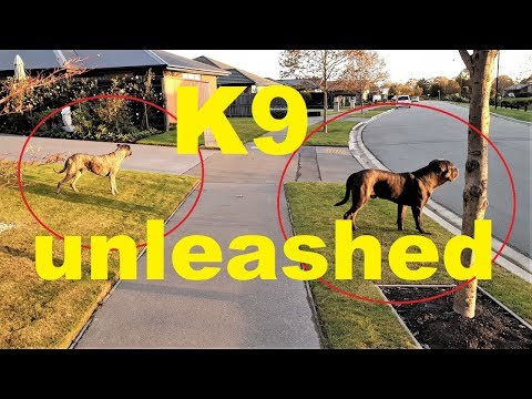 Download Cane Corso Best Guard Dog Off Leash Training MP3