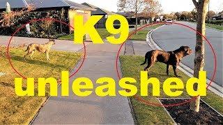 "CANE CORSO ""BEST GUARD DOG"" OFF LEASH TRAINING"