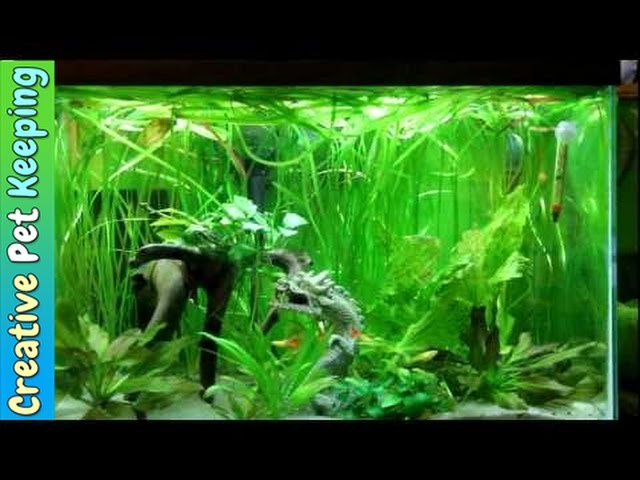 Betta and Guppy Community Fish Tank