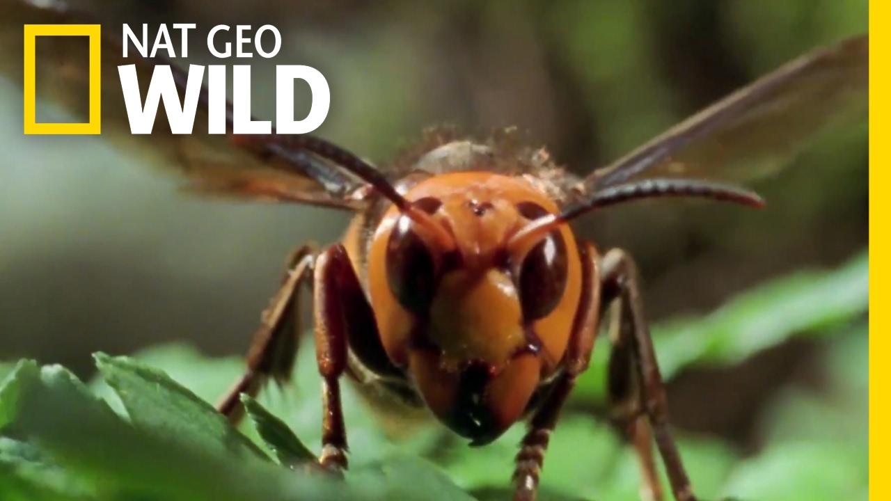 Способны ли осы давать мед, и чем они полезны»? Есть ли польза от укуса осы? Где живут осы, из чего строят гнезда? Что привлекает осу рядом с человеком? Чем опасны осы?