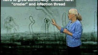 Nitrogen Fixation - Rhizobia
