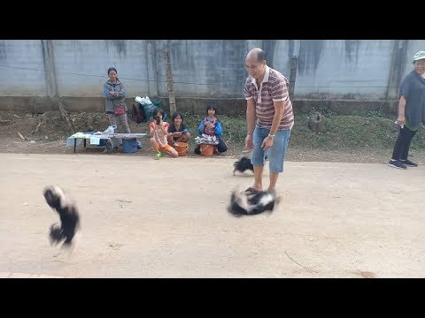 Очаровательные чихуахуа - акробаты