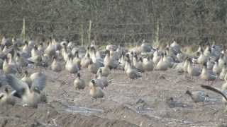 preview picture of video 'Pink-footed Geese (Anser brachyrhynchus) in Manchester, UK'