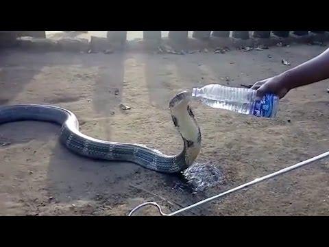 Durstige Kobra